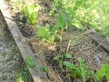 A young tomato plant that will eventually provide shade for the spinach.